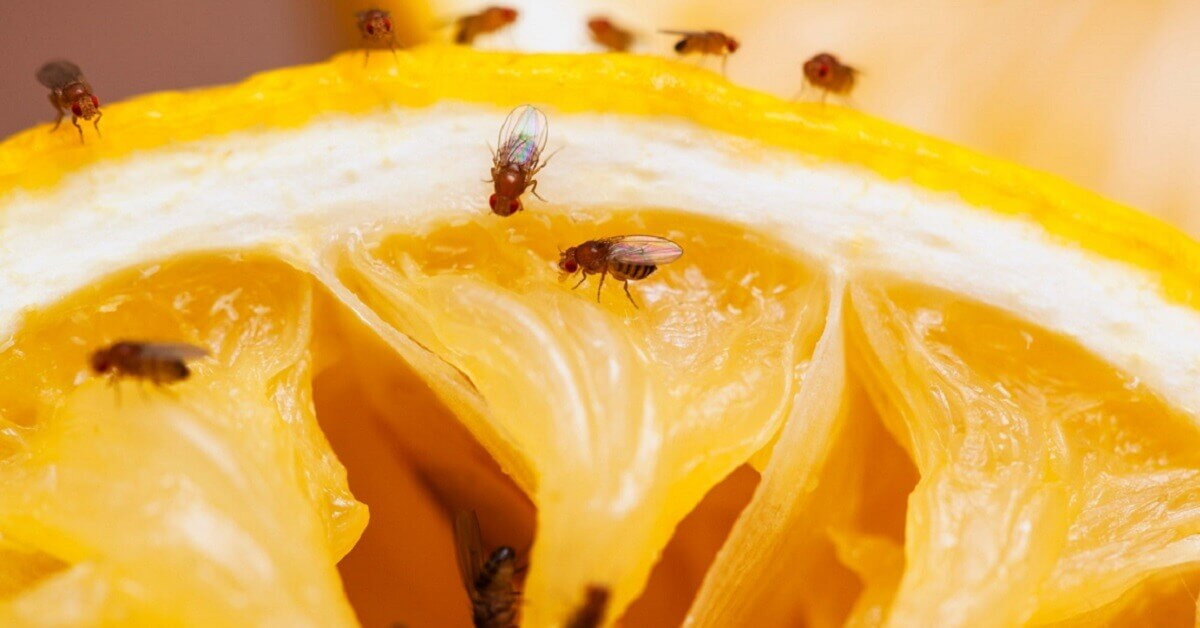How to get rid of fruit flies once and for all