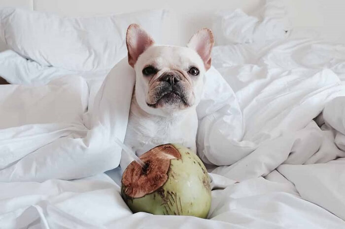Can dogs consume coconuts