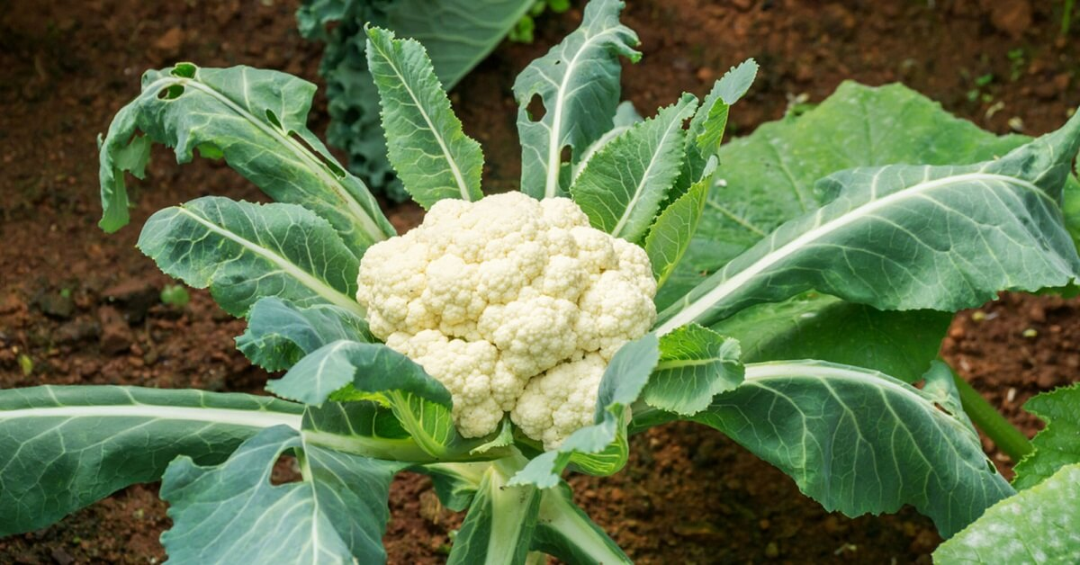 How Long does Cauliflower Last Cooked or Uncooked