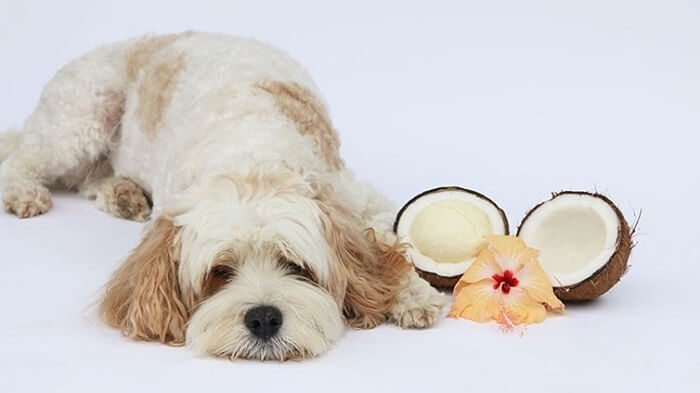 When is coconut poisonous to dogs